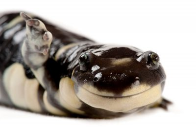 A vulnerable (IUCN) and federally endangered California tiger salamander (Ambystoma californiense) at the Fresno Cahffee Zoo, Fresno, California.