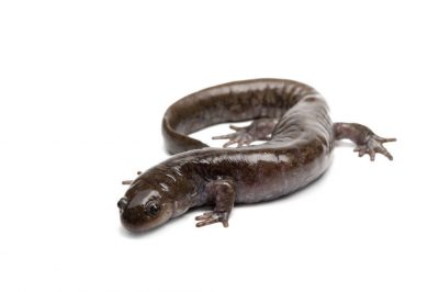 A small-mouthed salamander (Ambystoma texanum) from a private collection.