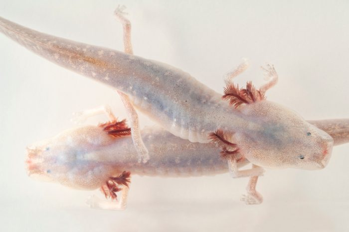 Vulnerable (IUCN) and federally endangered Texas blind salamanders (Eurycea rathbuni) at the Detroit Zoo.