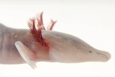 A vulnerable (IUCN) and federally endangered Texas blind salamander (Eurycea rathbuni) at the Detroit Zoo.