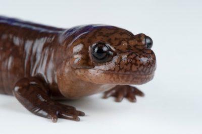 A Pacific giant salamander (Dicamptodon ensatus) at the Museum of Vertebrate Zoology at U.C. Berkeley.