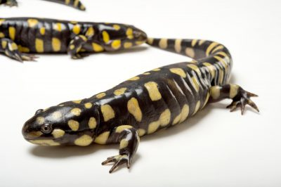 Picture of a pair of eastern tiger salamanders (Ambystoma tigrinum tigrinum) at the Caldwell Zoo in Tyler, Texas.