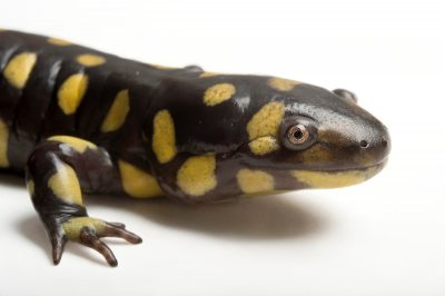 Picture of an eastern tiger salamander (Ambystoma tigrinum tigrinum) at the Caldwell Zoo in Tyler, Texas.