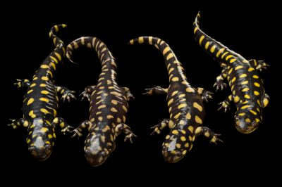 Picture of a group of eastern tiger salamanders (Ambystoma tigrinum tigrinum) at the Caldwell Zoo in Tyler, Texas.