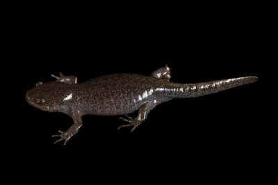 Photo: A mole salamander (Ambystoma talpoideum) from a private collection.