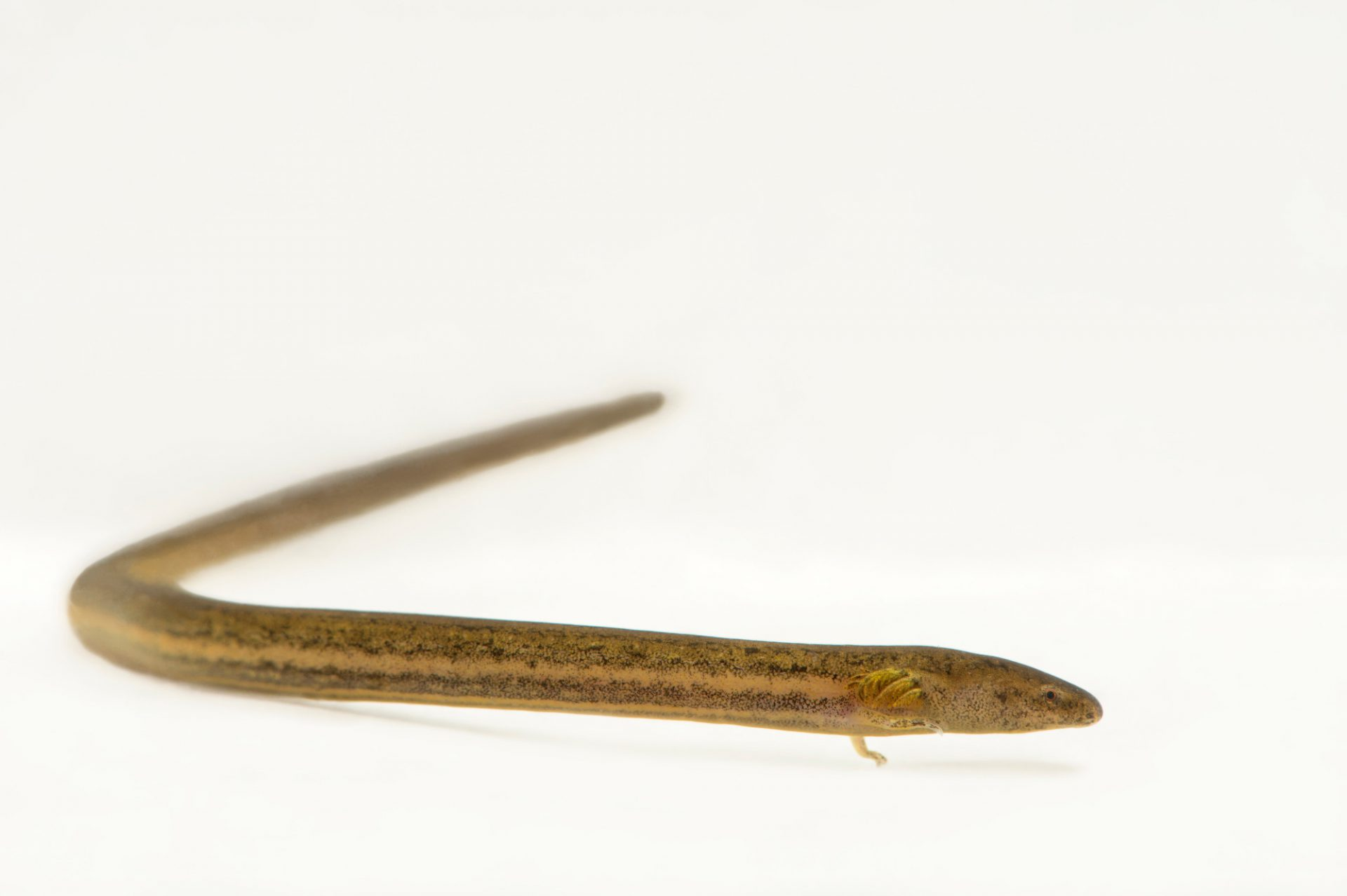 Photo: A narrow-striped dwarf siren (Pseudobranchus axanthus axanthus) from a private collection.