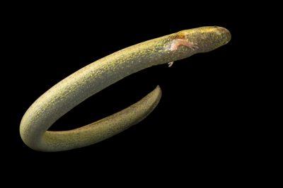 Picture of a lesser siren (Siren intermedia texana) at the National Mississippi River Museum and Aquarium in Dubuque, Iowa.