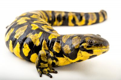 Picture of an Arizona tiger salamander (Ambystoma mavortium nebulosum) at the St. Louis Zoo in St. Louis, Missouri.