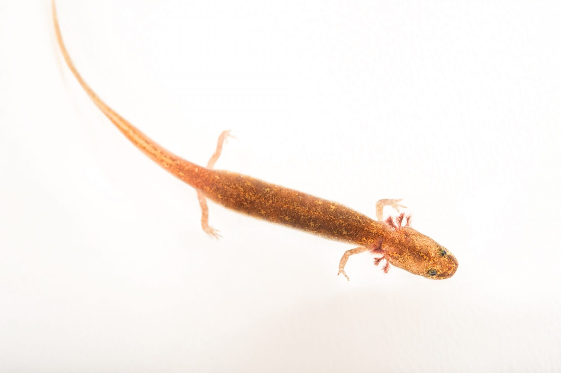 Picture of a vulnerable Salado salamander (Eurycea chisholmensis) at the Dallas Zoo.