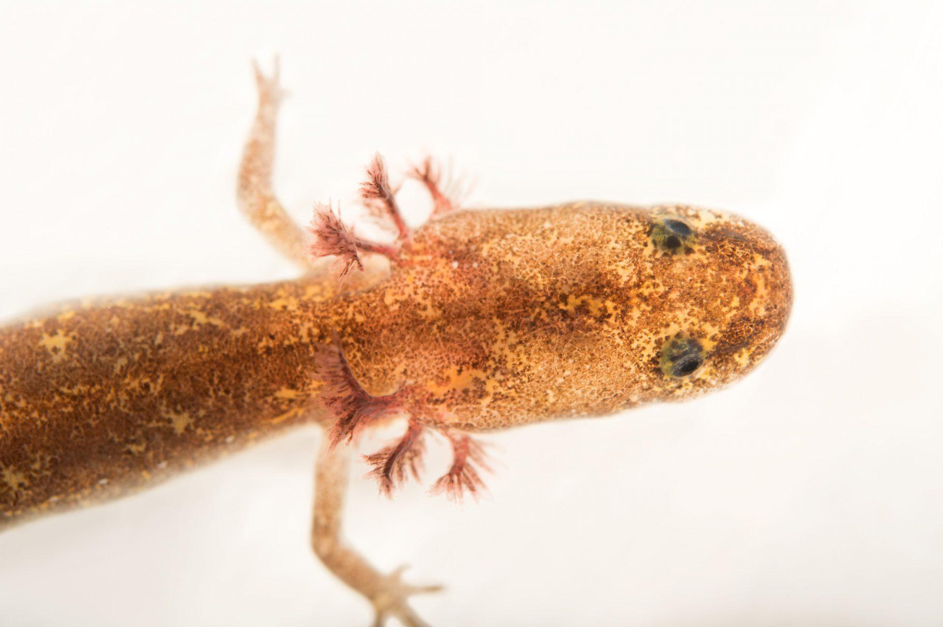 Picture of a vulnerable Salado salamander (Eurycea chisholmensis) at the Dallas Zoo.