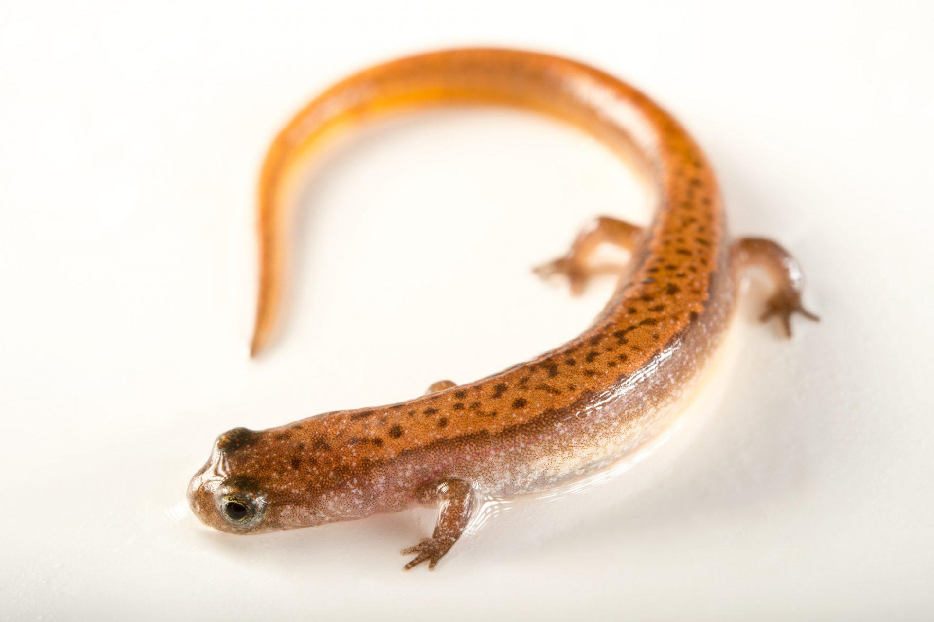 Picture of a dwarf salamander (Eurycea quadradigitata) from Dagray Resevoir, Arkansas.