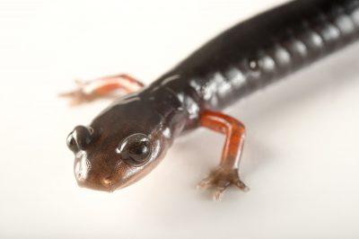 Picture of a vulnerable red-legged salamander (Plethodon shermani) collected at Wayah Bald, Macon County, North Carolina.