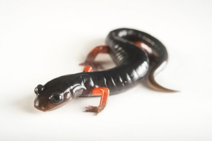 Picture of a vulnerable red-legged salamander (Plethodon shermani) collected at Wayah Bald, Macon County, North Carolina.