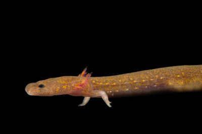 Picture of a ouachita streambed salamander (Eurycea subfluvicola).