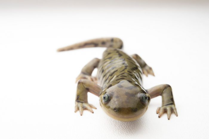 A studio portrait of a blotched tiger salamander (Ambystoma mavortium melanostictum) from a private collection.