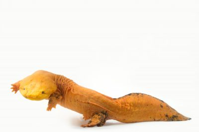"""A unique color variant of an eastern hellbender (Cryptobranchus alleganiensis) named """"Blondie"""" at the Saint Louis Zoo. When she came from North Carolina to the zoo as a juvenile, she only had a couple of orange spots. Over the past 12 years her color has morphed into this very showy orange."""