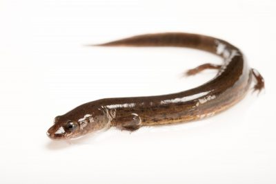 Picture of a many-lined salamander (Stereochilus marginatus) from a private collection.
