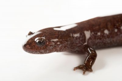 A clouded salamander (Hynobius nebulosus) at the Sedgwick County Zoo in Wichita, Kansas.