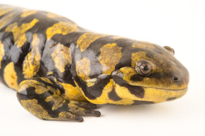 Picture of an Eastern tiger salamander (Ambystoma tigrinum tigrinum) at the Saint Louis Zoo.