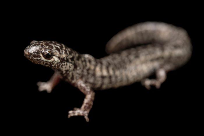 Photo: A frosted flatwoods salamander (Ambystoma cingulatum) from the Atlanta Botanical Garden.