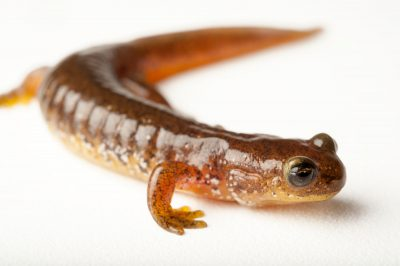 A vulnerable Olympic torrent salamander (Rhyacotriton olympicus) at the Sedgwick County Zoo in Wichita, Kansas.