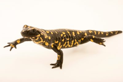Photo: A Portuguese fire salamander (Salamandra salamandra gallaica) at the Dallas Zoo.