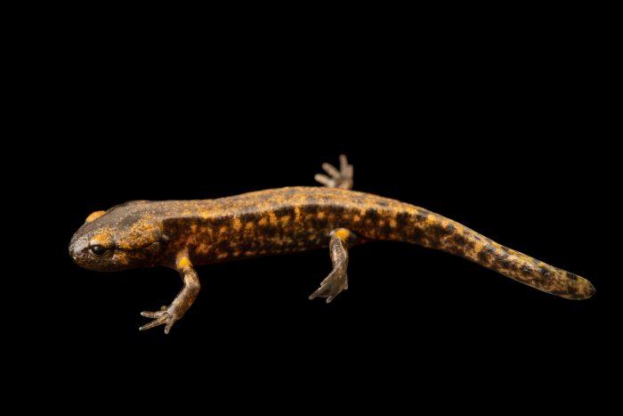 Photo: Banded fire salamander (Salamandra salamandra gallaica) at Graham's Quinta dos Malvedos Vineyard.