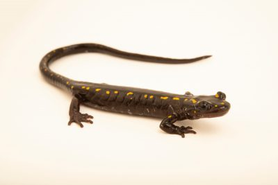 Photo: Caucasian salamander (Mertensiella caucasica) at the Moscow Zoo. This species is listed as Vulnerable according to IUCN.