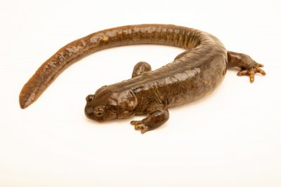Photo: An endangered Siberian salamander (Ranodon sibiricus) at the Moscow Zoo.