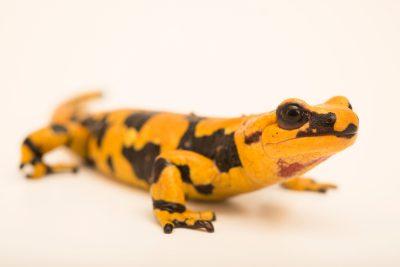 Photo: Italian fire salamander, Salamandra salamandra gigliolii, at Parco Natura Viva.