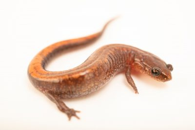 Photo: A WebsterÕs salamander (Plethodon websteri) at the Auburn University Natural History Museum.