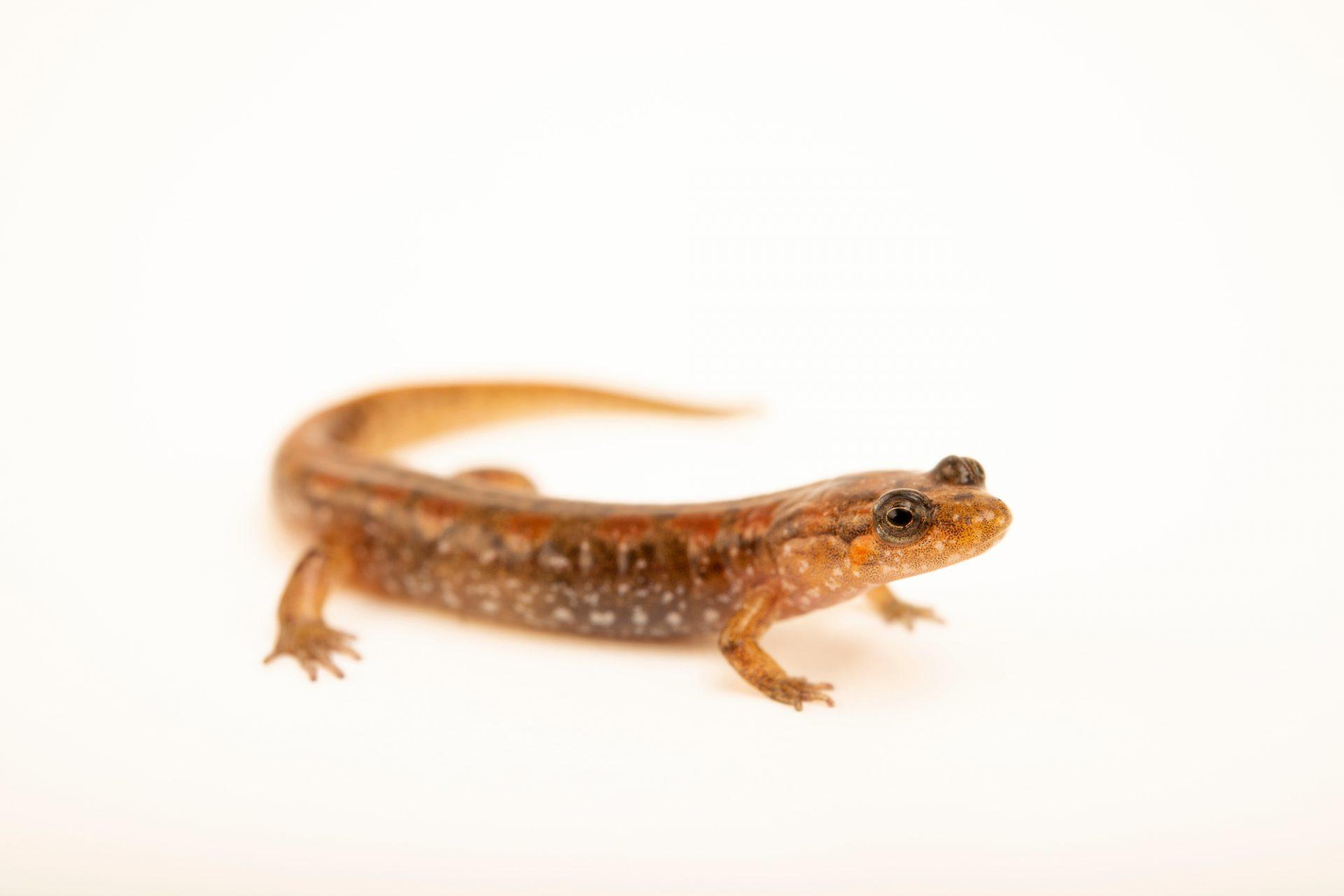 Photo: A spotted dusky salamander (Desmognathus conanti) at the Auburn University Natural History Museum.