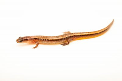 Photo: A HillisÕs dwarf salamander (Eurycea hillisi) at the Auburn University Natural History Museum.