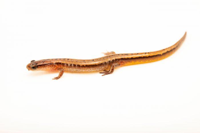 Photo: A HillisÕs dwarf salamander (Eurycea hillisi) at the Auburn University Natural History Museum.