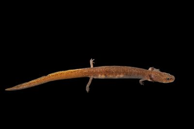 Photo: A Salado salamander (Eurycea chisholmensis) at the Conservation Department of the San Antonio Zoo. This species is listed as vulnerable on the IUCN Red List.