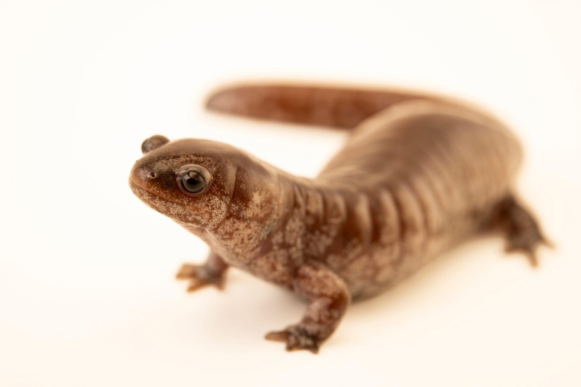 Photo: Steamside salamander (Ambystoma barbouri) at the Nashville Zoo.