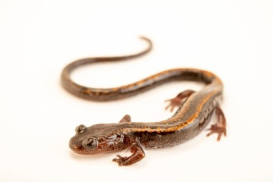 Photo: A golden striped salamander (Chioglossa lusitanica) at the Biodiversity Hall of Natural History and Science Museum.