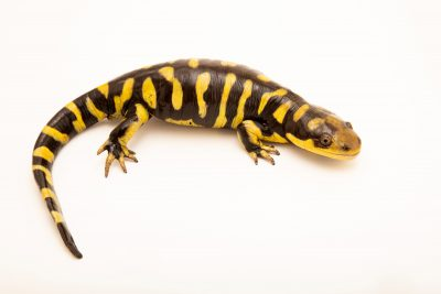 Photo: A barred tiger salamander (Ambystoma mavortium mavortium) at the Oklahoma City Zoo.