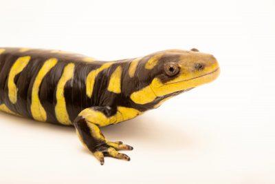 Photo: A barred tiger salamander (Ambystoma mavortium mavortium) at the Oklahoma City Zoo.