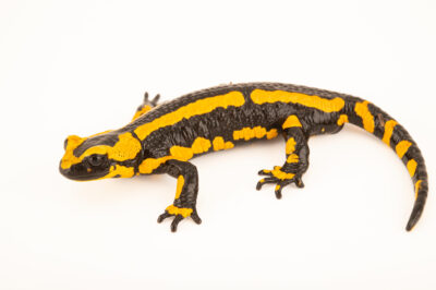 Photo: A fire salamander (Salamandra salamandra terrestris) at Aquarium Berlin.