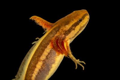 Photo: A frosted flatwoods salamander (Ambystoma cingulatum) at the Amphibian Foundation.