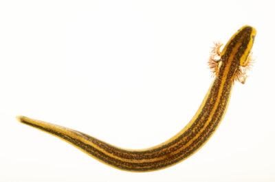 Photo: A Fort Stewart dwarf siren (Pseudobranchus striatus) at the Amphibian Foundation in Atlanta, GA. This animal was originally from Fort Stewart, GA.