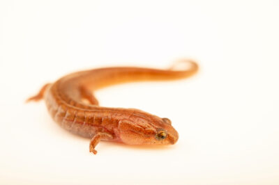 Photo: A seepage salamander (Desmognathus aeneus) at a private collection.