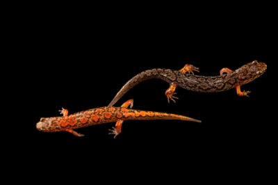 Photo: Red-cheeked salamanders (Desmognathus ocoee) at a private collection.