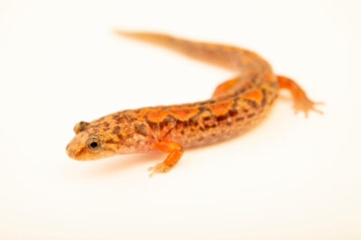 Photo: A red-cheeked salamander (Desmognathus ocoee) at a private collection.