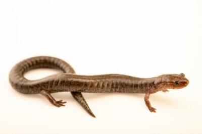 Photo: A ravine salamander (Plethodon richmondi) at a private collection.