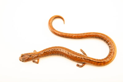 Photo: A California slender salamander (Batrachoseps attenuates) at a private collection.