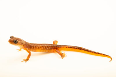 Photo: An Oregon ensatina salamander (Ensatina oregonensis) at a private collection.
