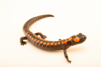 Photo: A false brook salamander (Isthmura bellii) at a private collection.