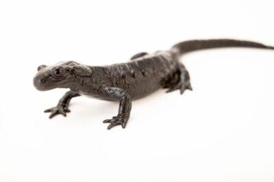 Photo: A female Alpine salamander (Salamandra atra) from a private collection.